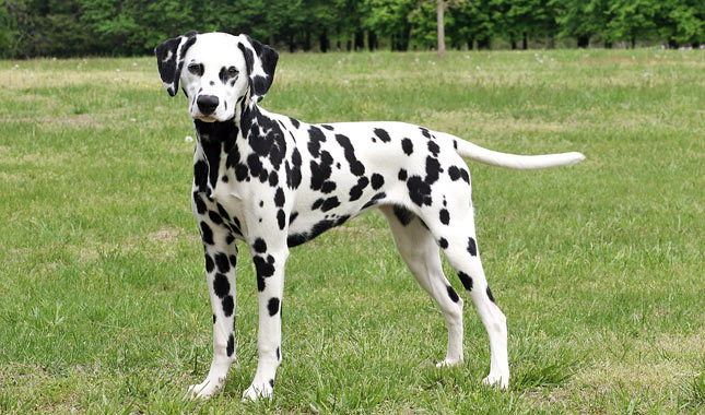 My Dog Is Not A Dalmatian: Why Breed (Mis)Identification Matters
